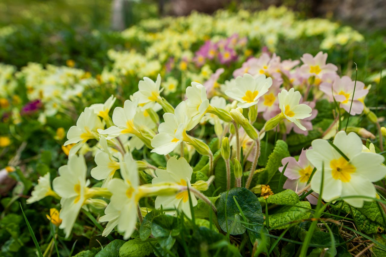 A view across a bank of Primroses