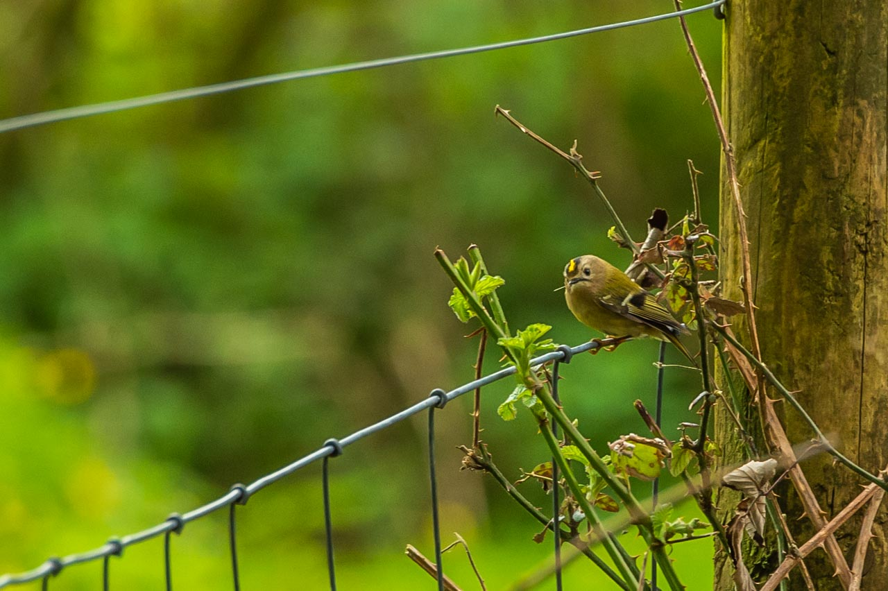 Stand quite still and there is a good chance of spotting a Goldcrest in the undergrowth