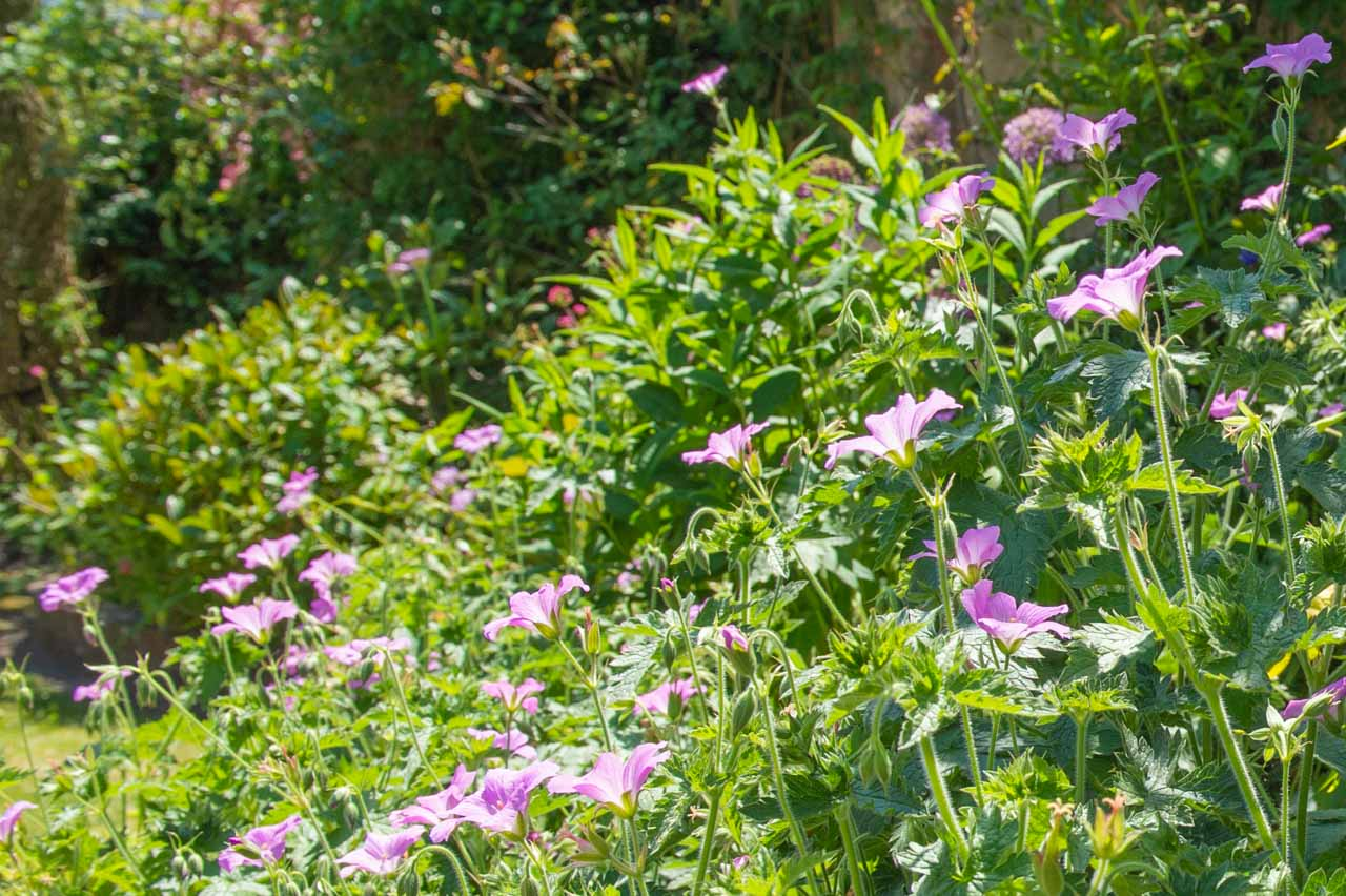 13. Nicky: A border rich in Geraniums