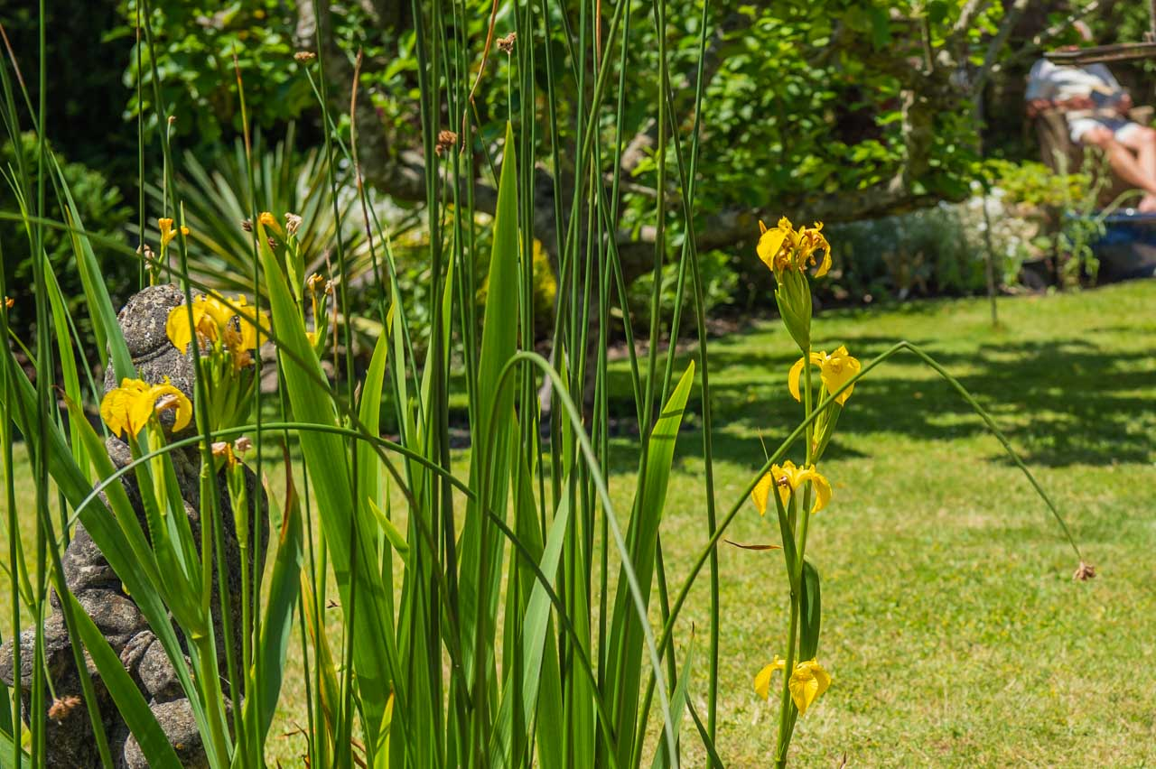 14. Denise and Peter: Yellow Flag Irises growing in the front garden's pond