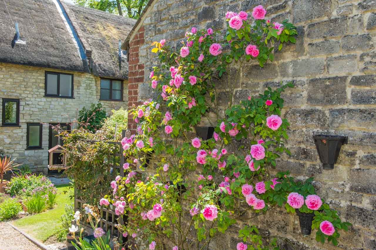 4. Gill and Alistair: A Gertrude Jekyll climbing rose decorates the garage wall