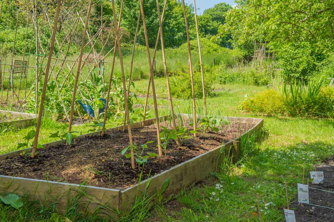 Pub Allotments: A raised bed of Runner beans