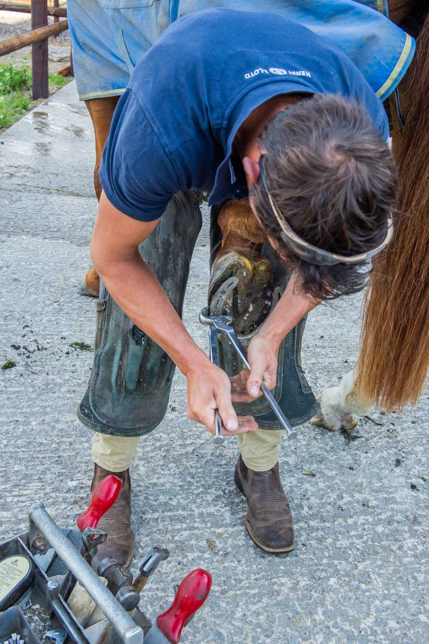 The start of the process as the Farrier removes the old shoe