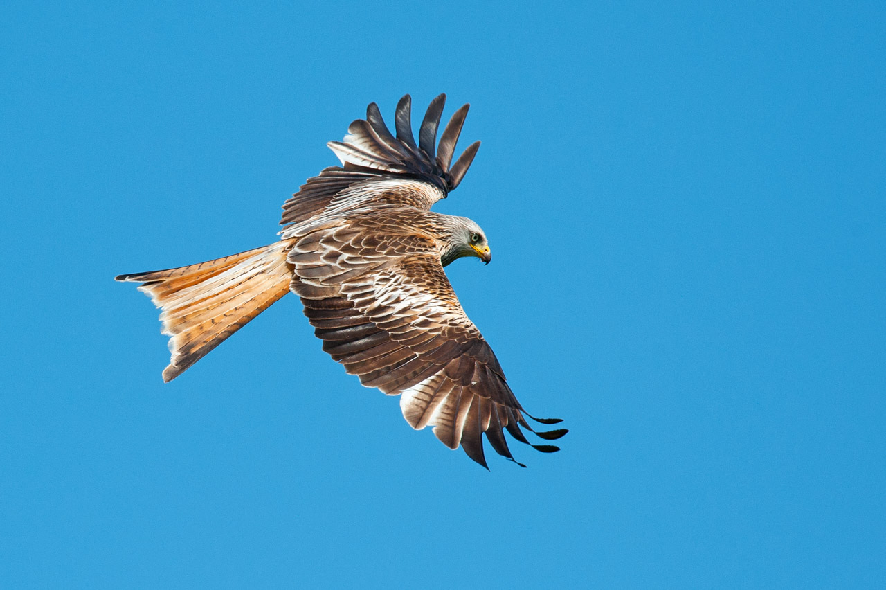 Red Kites, regular visitors to this area