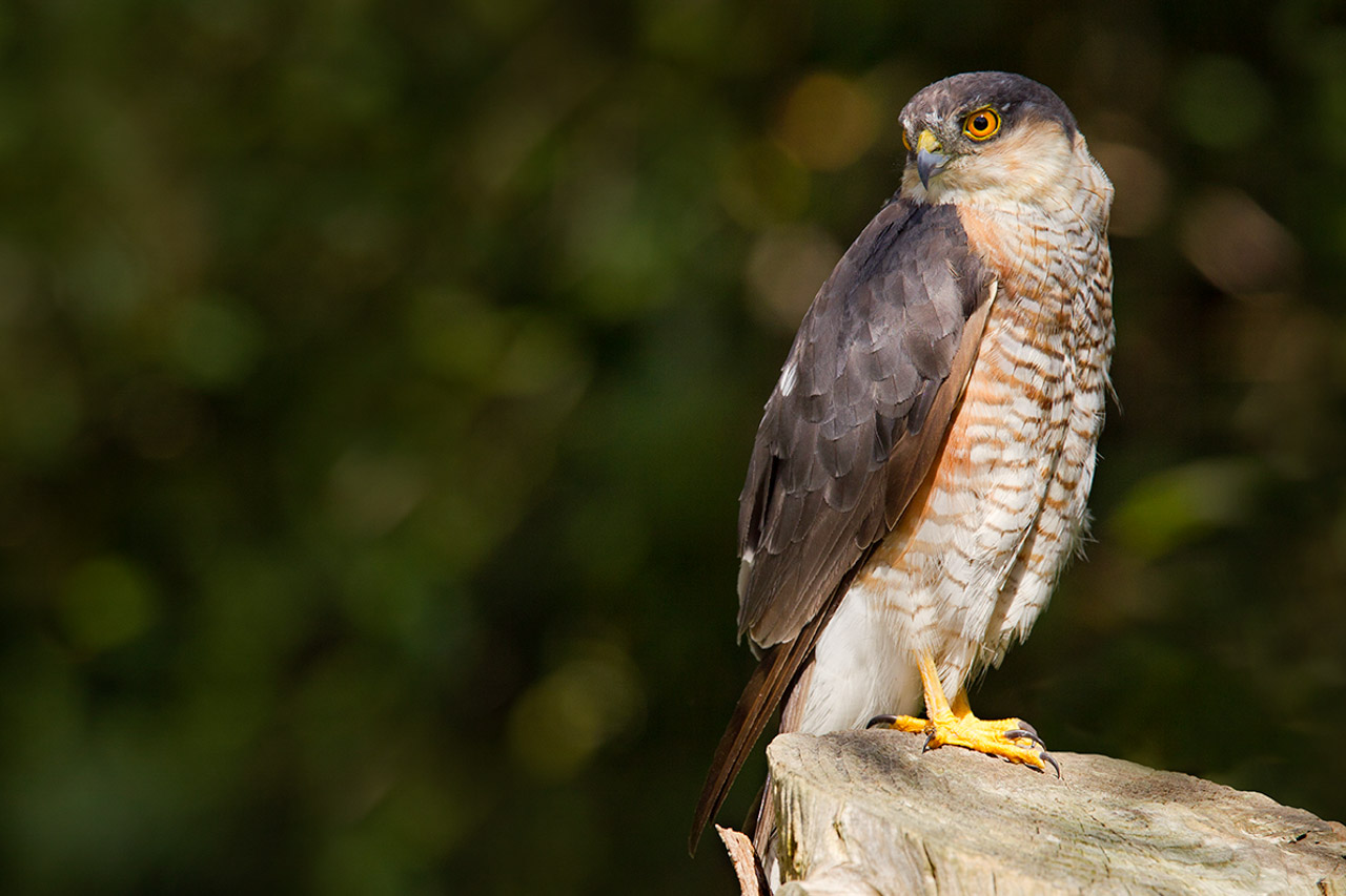 The striking colours of a Sparrowhawk