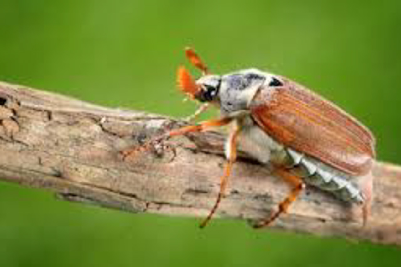 Sue's nemesis, the harmless and beautiful Cockchafer