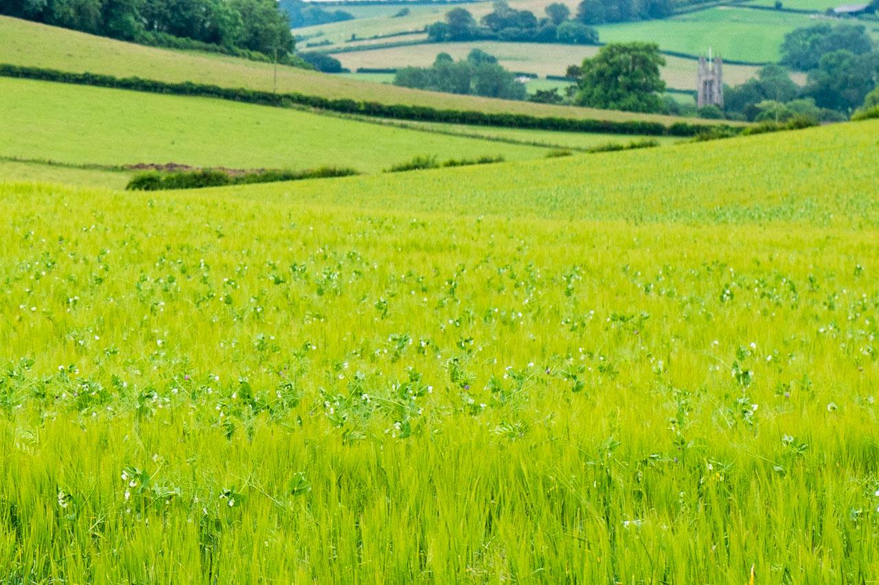 Bi cropping: Barley and Peas growing well