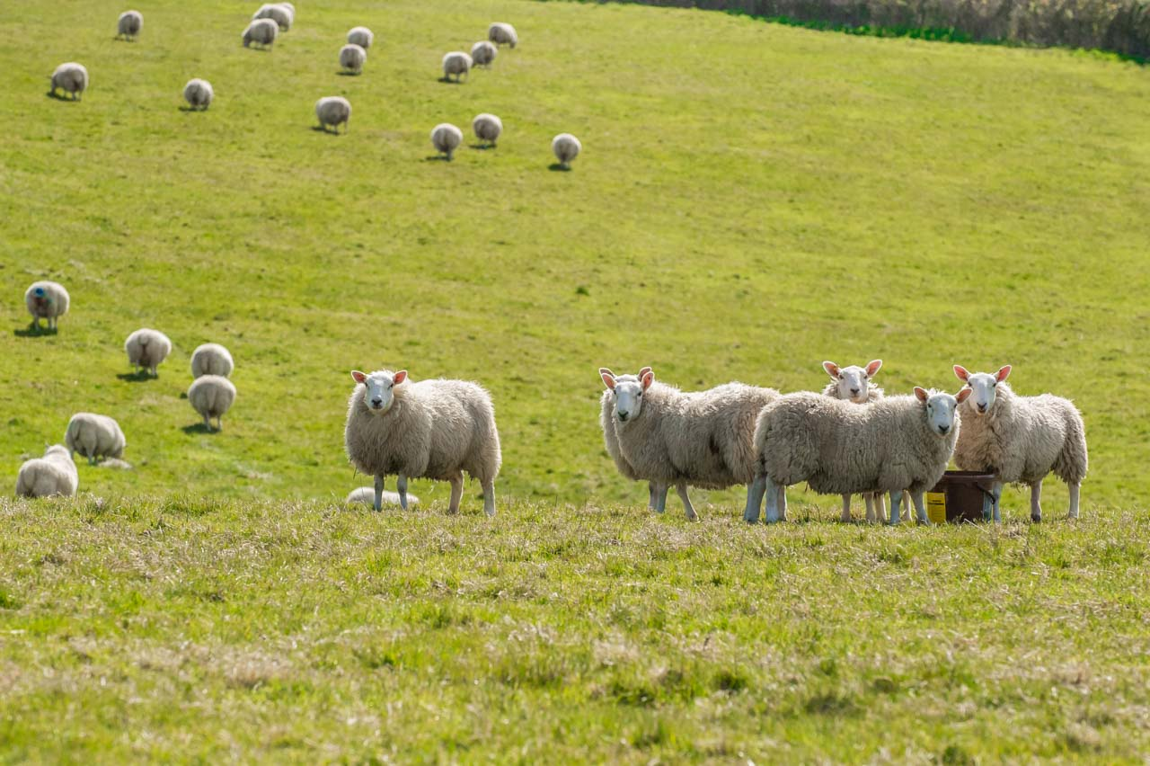 Some of the flock of Cheviot sheep