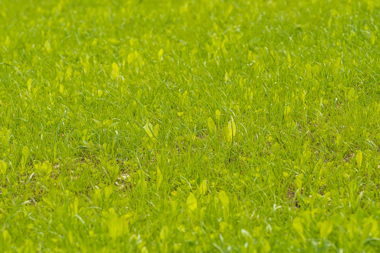 Herbal Leys: A field of Chicory, Plantain, Red Clover, Romark and White Clover