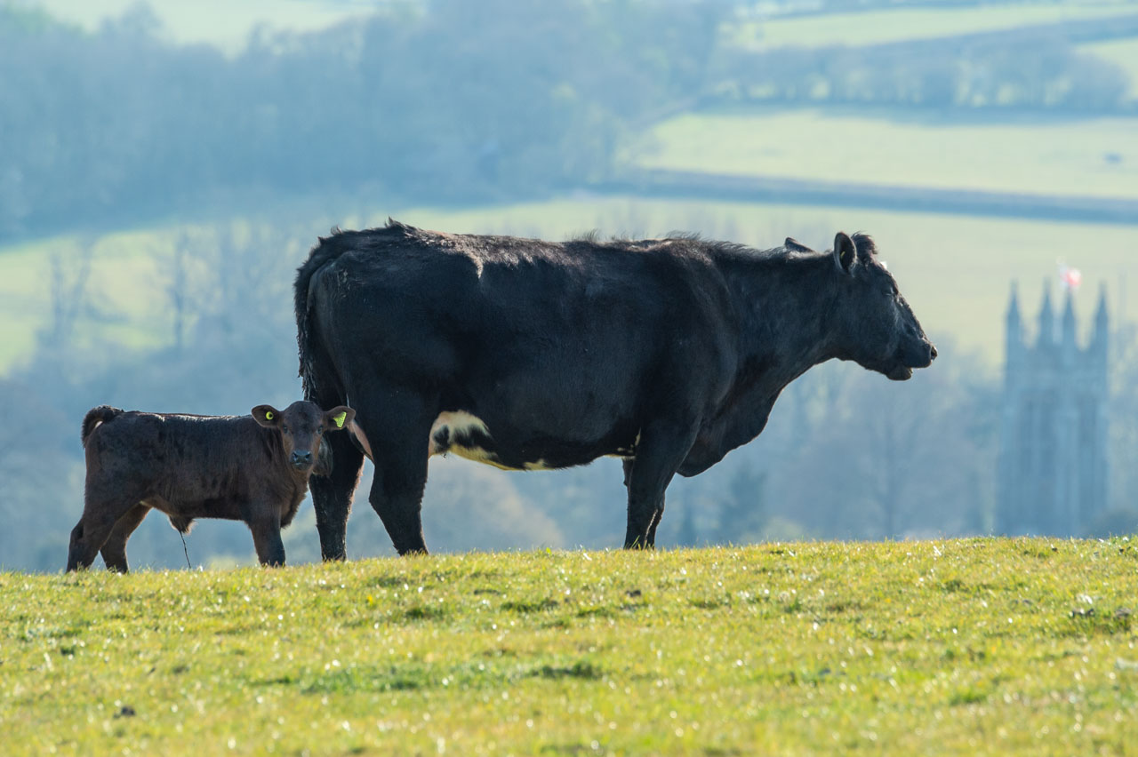 The result of the putting an Angus cow to the bull is a Limousine Angus calf